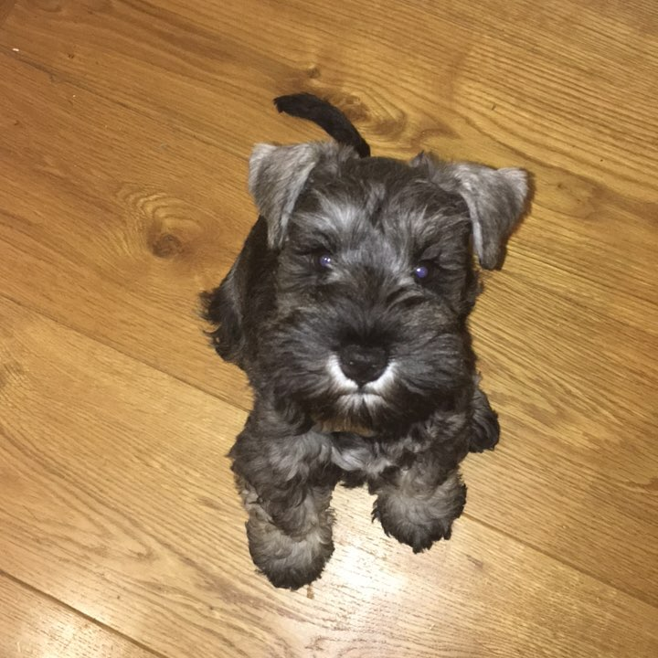 Miniature Schnauzer Puppies Home